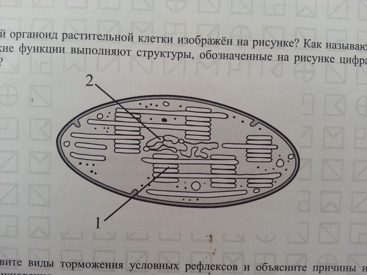 Какой органоид растительной клетки изображен на рисунке
