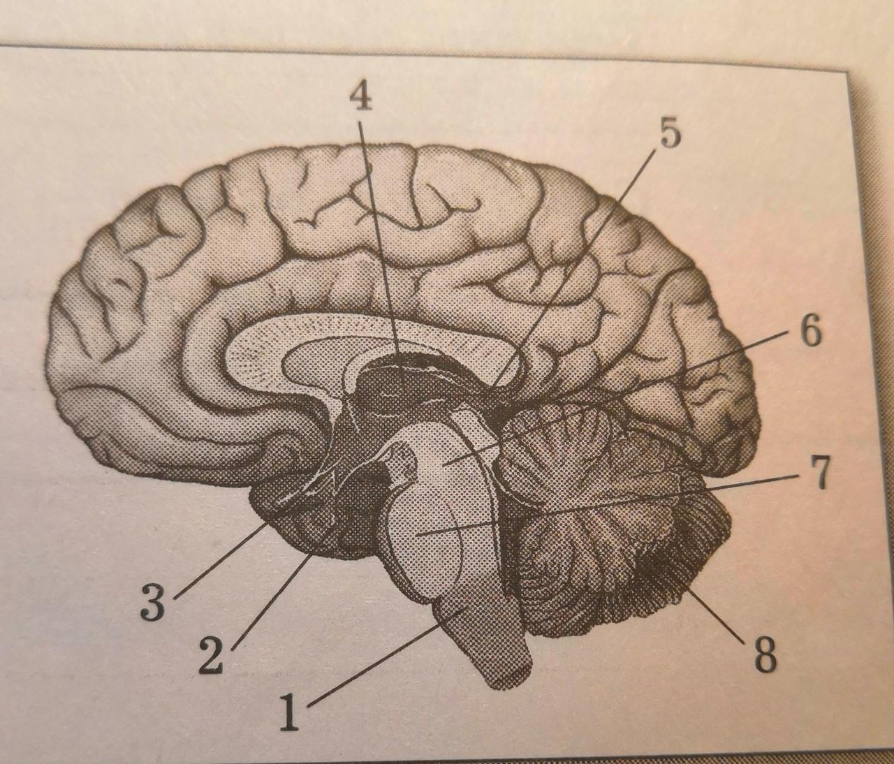 обучили картинки головного мозга с отделами бизнесе тимати
