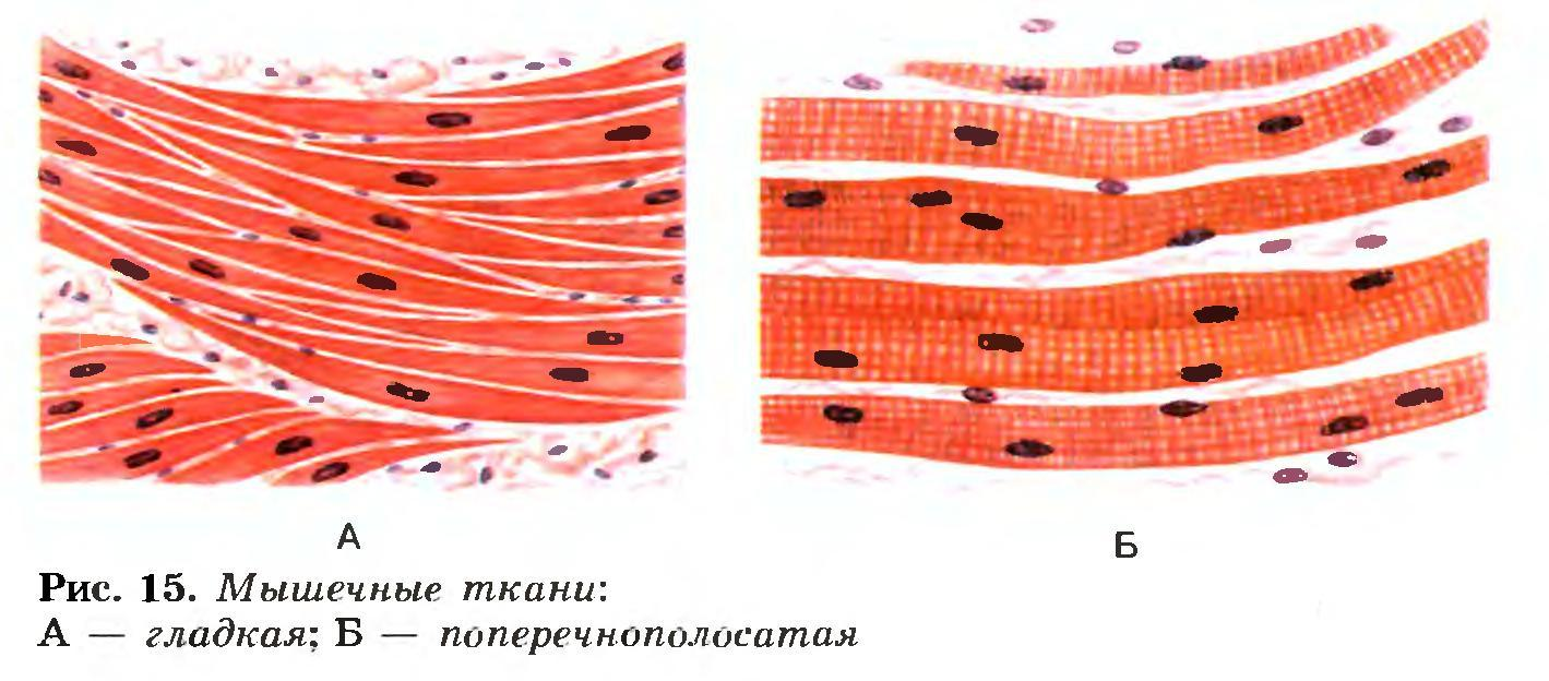 Мышечная ткань картинка