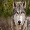 волк203