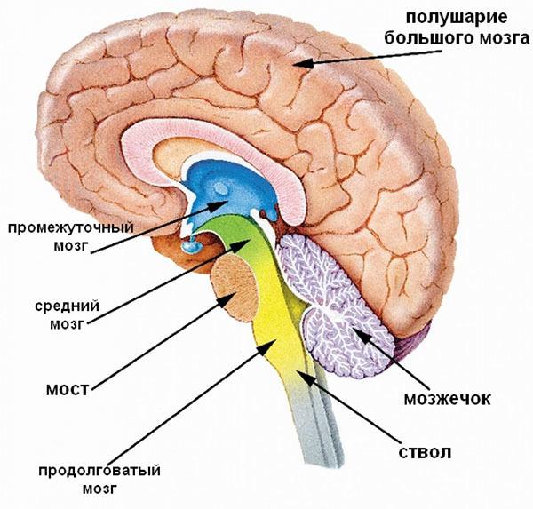 В головном мозге различают пять отделов: продолговатый мозг,