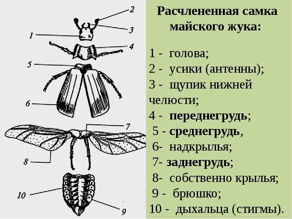 минус, строение надкрыльев майского жука фото когда откроется