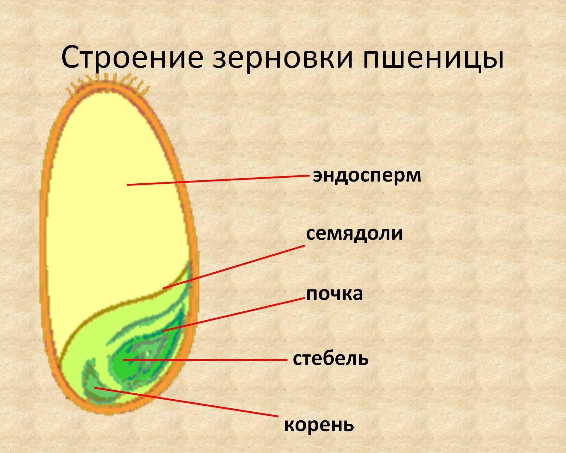 Функции эндосперма зерновки