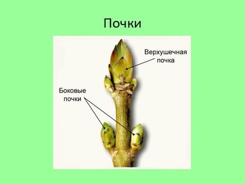 Почки растений их строение и типы почкорасположение Выполнить  Комментарии Отметить нарушение