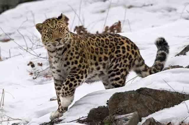 Дальневосточный амурский леопард - самая редкая кошка в мире