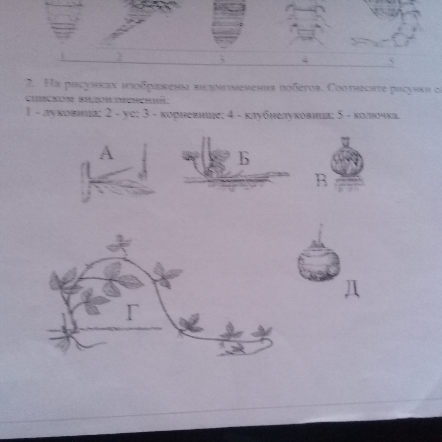 На рисунке изображены видоизменения побегов соотнесите рисунки со списком видоизменений 1 луковица 2 ус 3 корневище  4 клубнелуковица 5 колючка