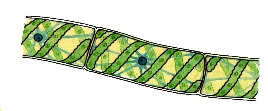 Хроматофор