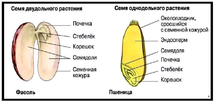 Сравнение полового размножения семенных растений