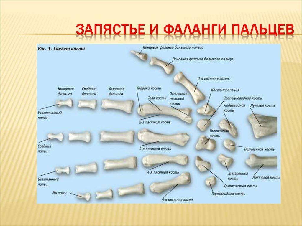 Сколько суставов в кисти руки человека ответы во время занятий фитнесом болят суставы