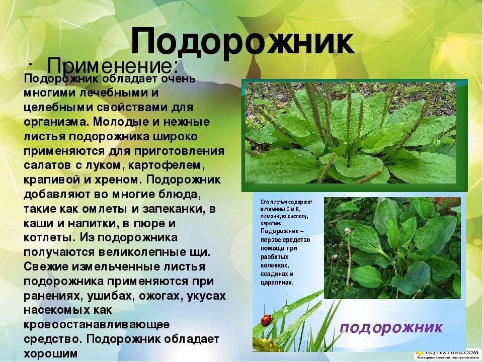 Доклад на тему лекарственное растение подорожник 291