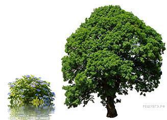 На рисунке изображены куст и дерево. Высота куста ...