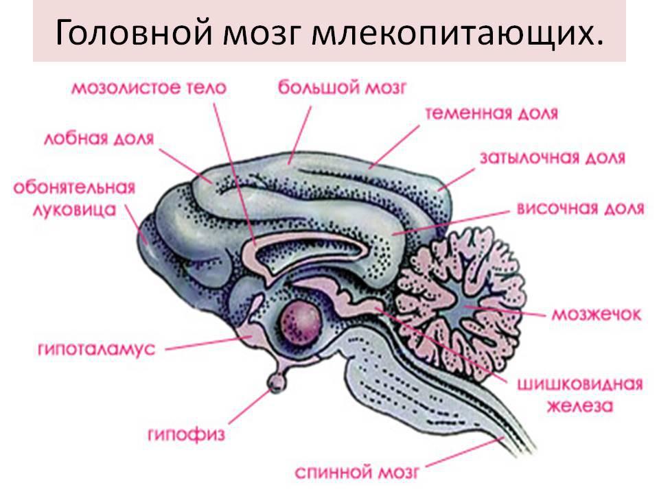 Картинка головной мозг млекопитающих
