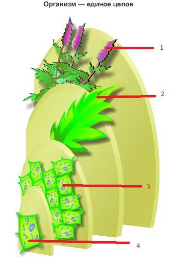 Клетка организм рисунок