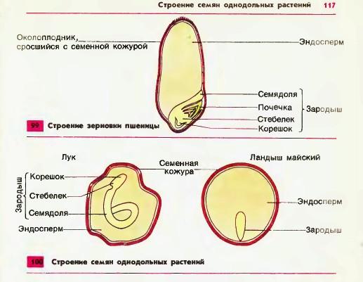 Рисунок строение семени с эндоспермом