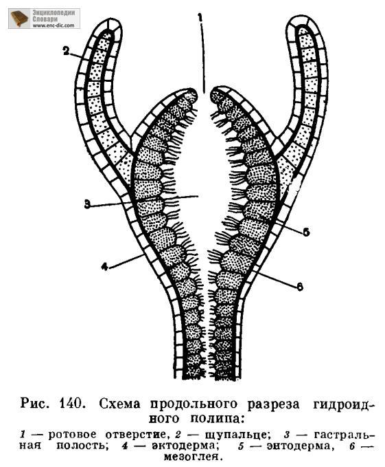 Схема внешнего строения гидры фото 117