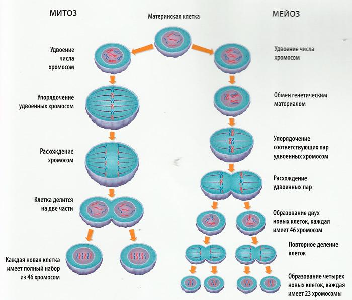 Митоз и мейоз в схемах