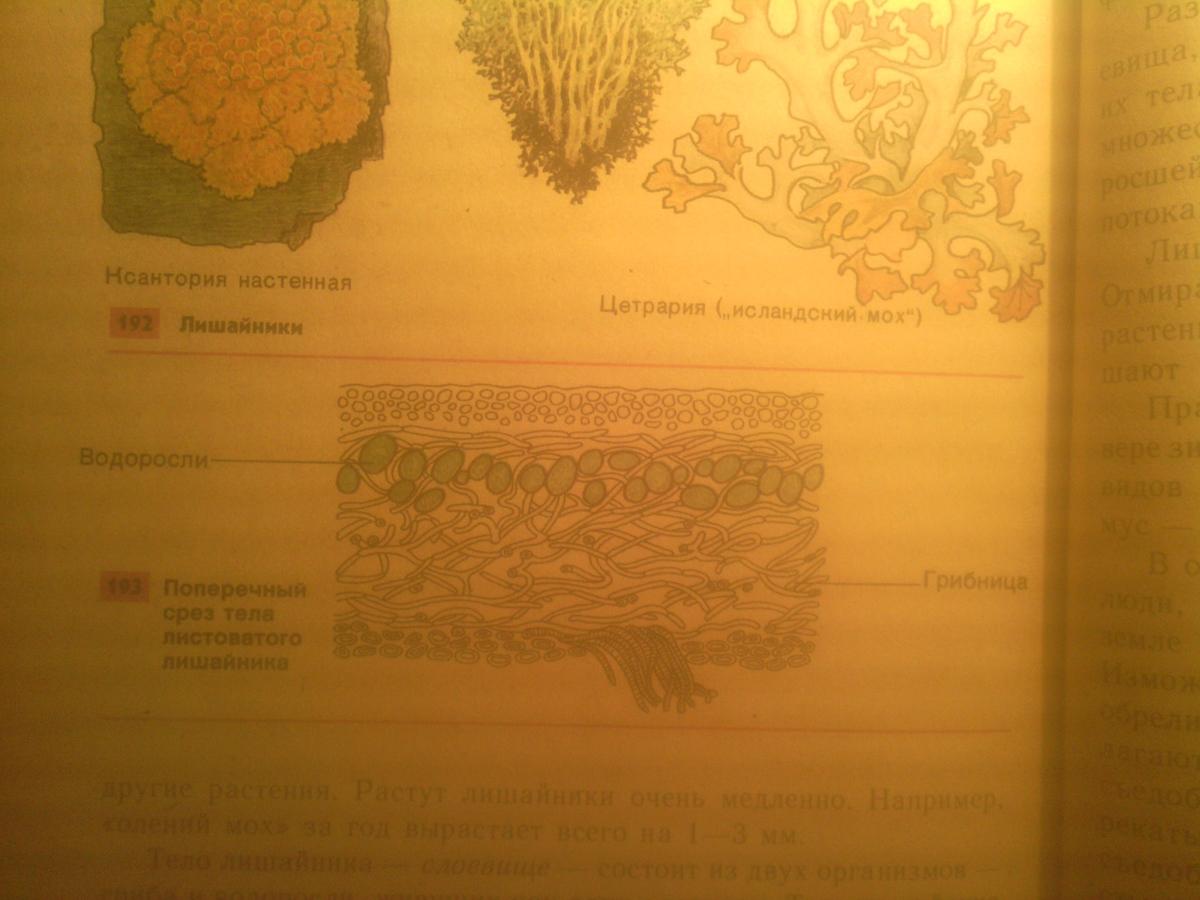 модель внутреннего строения лишайника