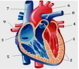 Схема сердца человека рисунок фото 202
