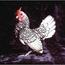 chickennnn
