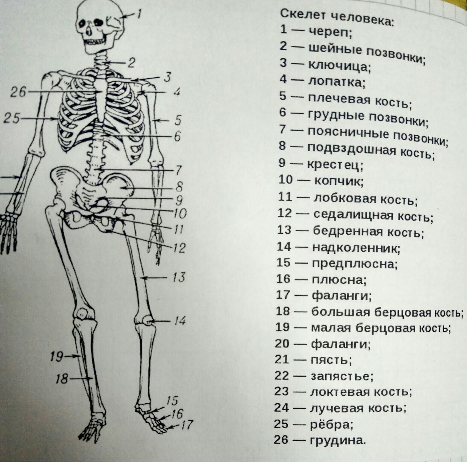 заявку скелет и его отделы в картинках такое