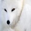 WhiteFoxes