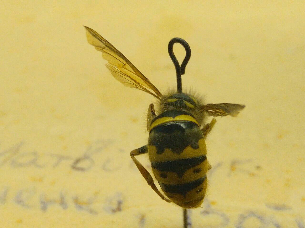 Название пчелы, (если это пчела)