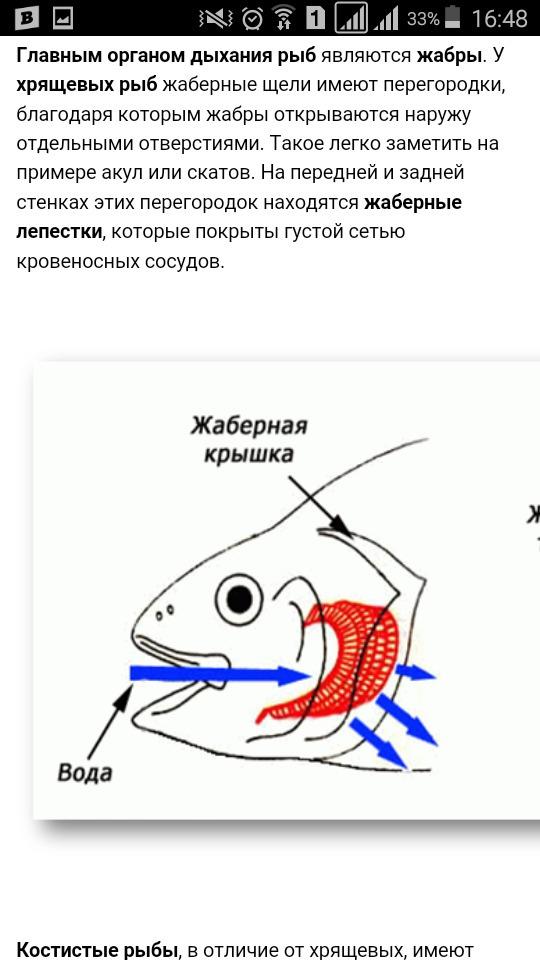 Дыхательная система рыбы доклад 3723