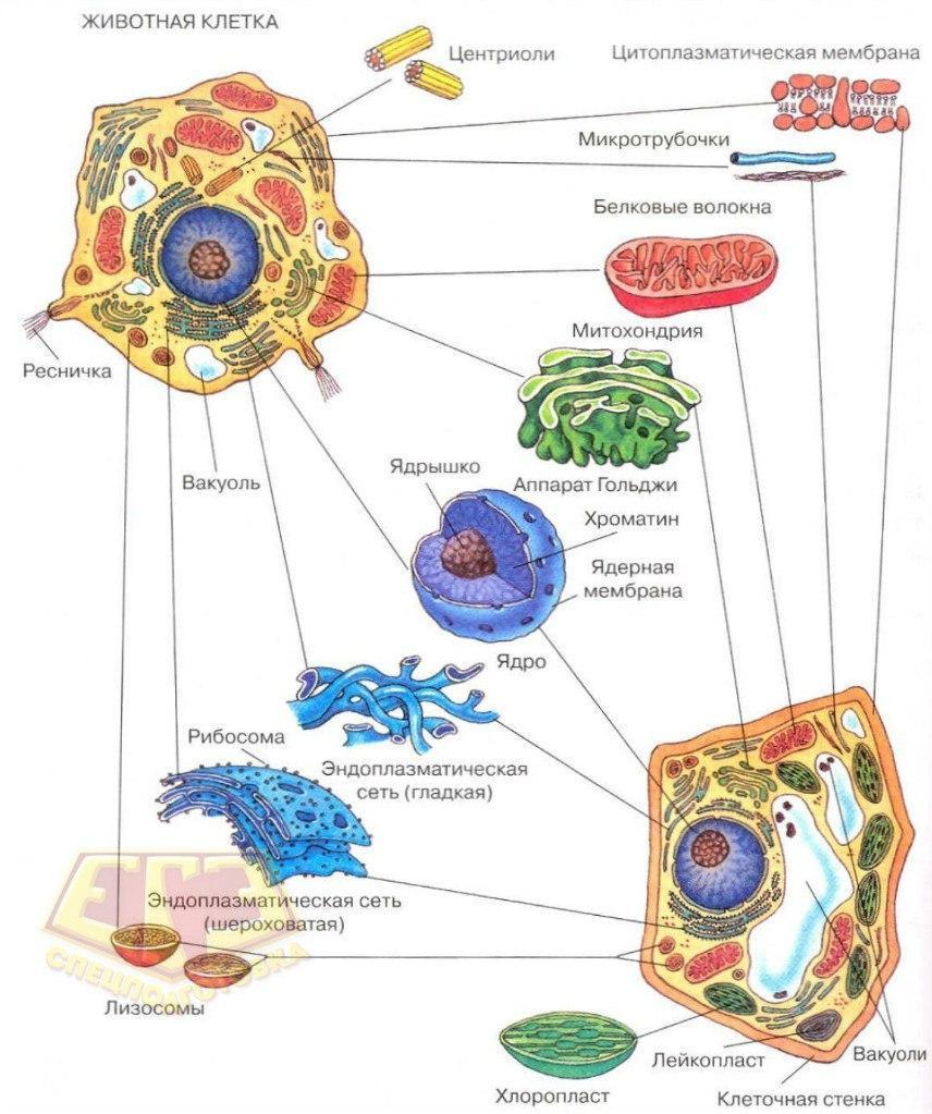 Растительная клетка в отличие от животной имеет ...  Вакуоль В Животной Клетке