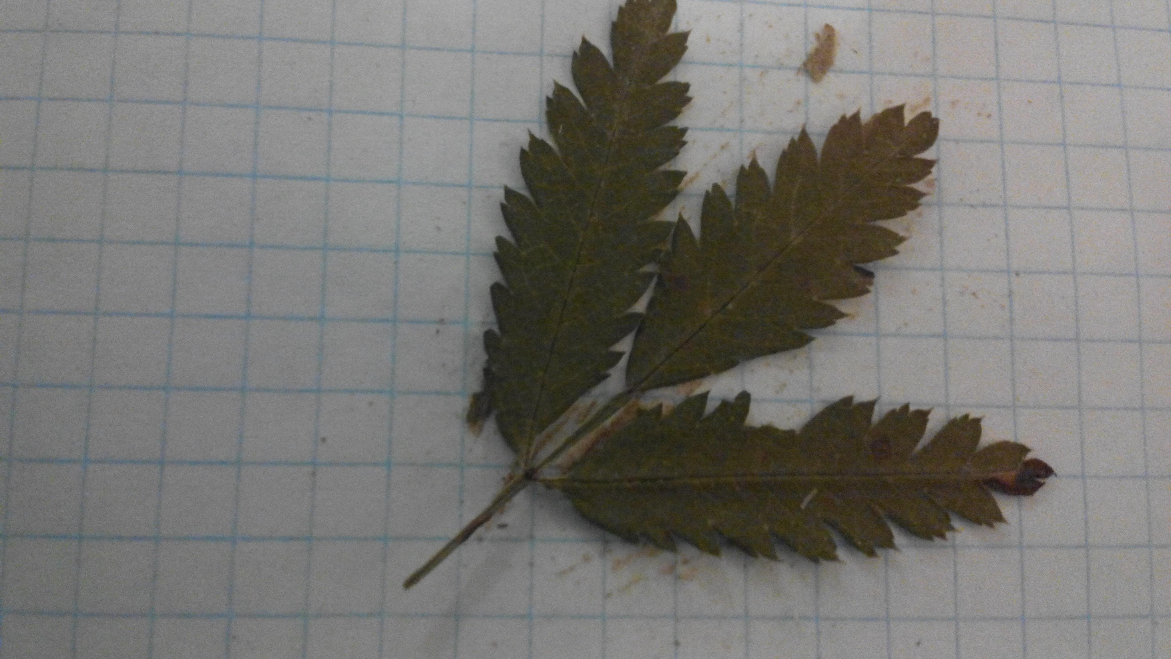Что это за лист (куст или дерево) и если можно то факт о ...
