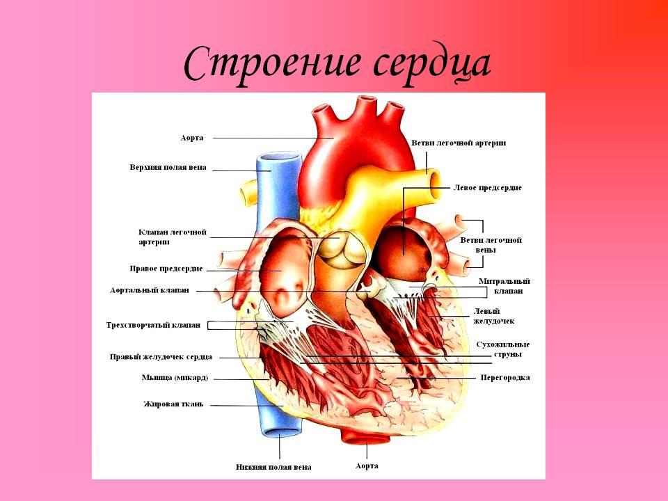 Схема сердца с подписями фото 422