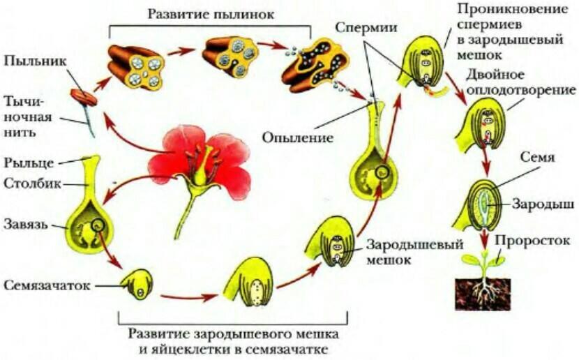 Голосеменные: размножение и строение. Особенности размножения