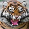 Tiger333