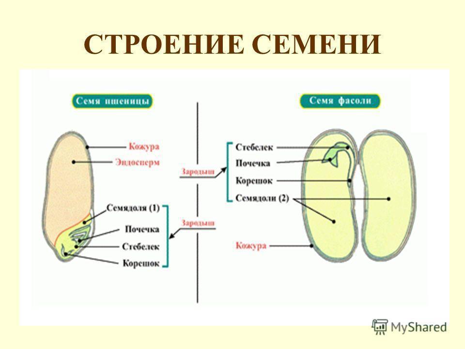 картинки строение семя тыквы