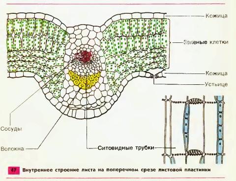 внутренне строение листа схема