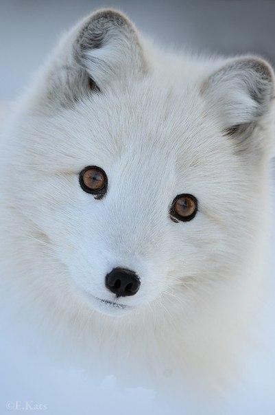 Доклад на тему песец животное тундры 8037