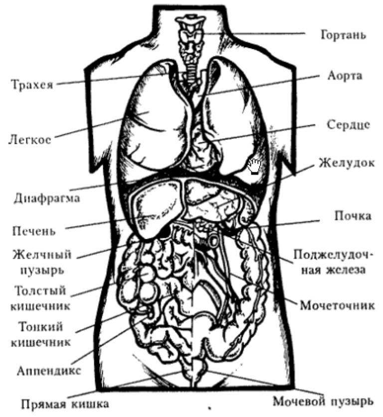 Тело человека с органами картинка