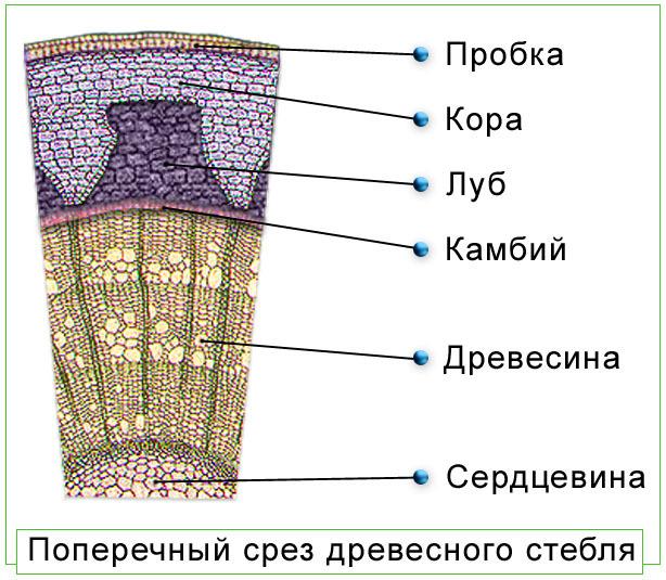 взятые схема строения коры дерева лентами