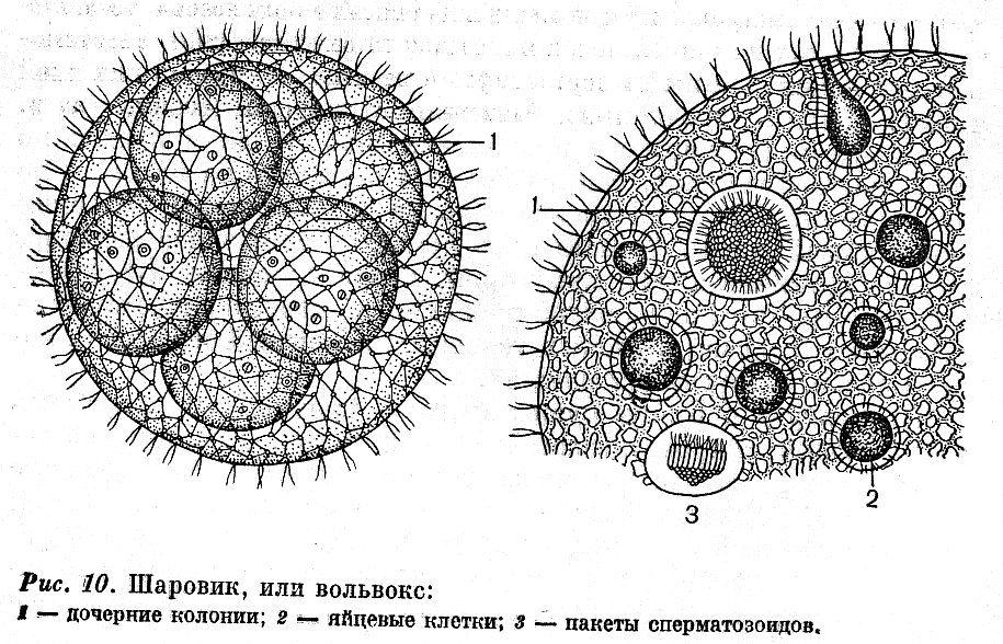 volvox globator с обозначениями