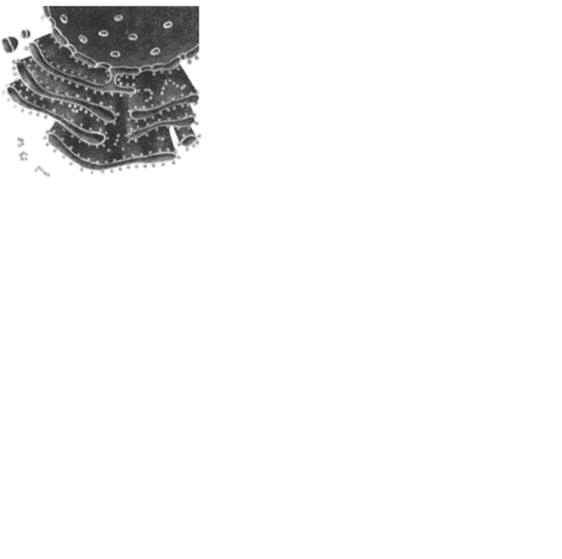Изображённый на рисунке органоид