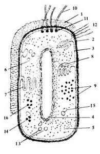 Схема строения прокариотической клетки фото 964